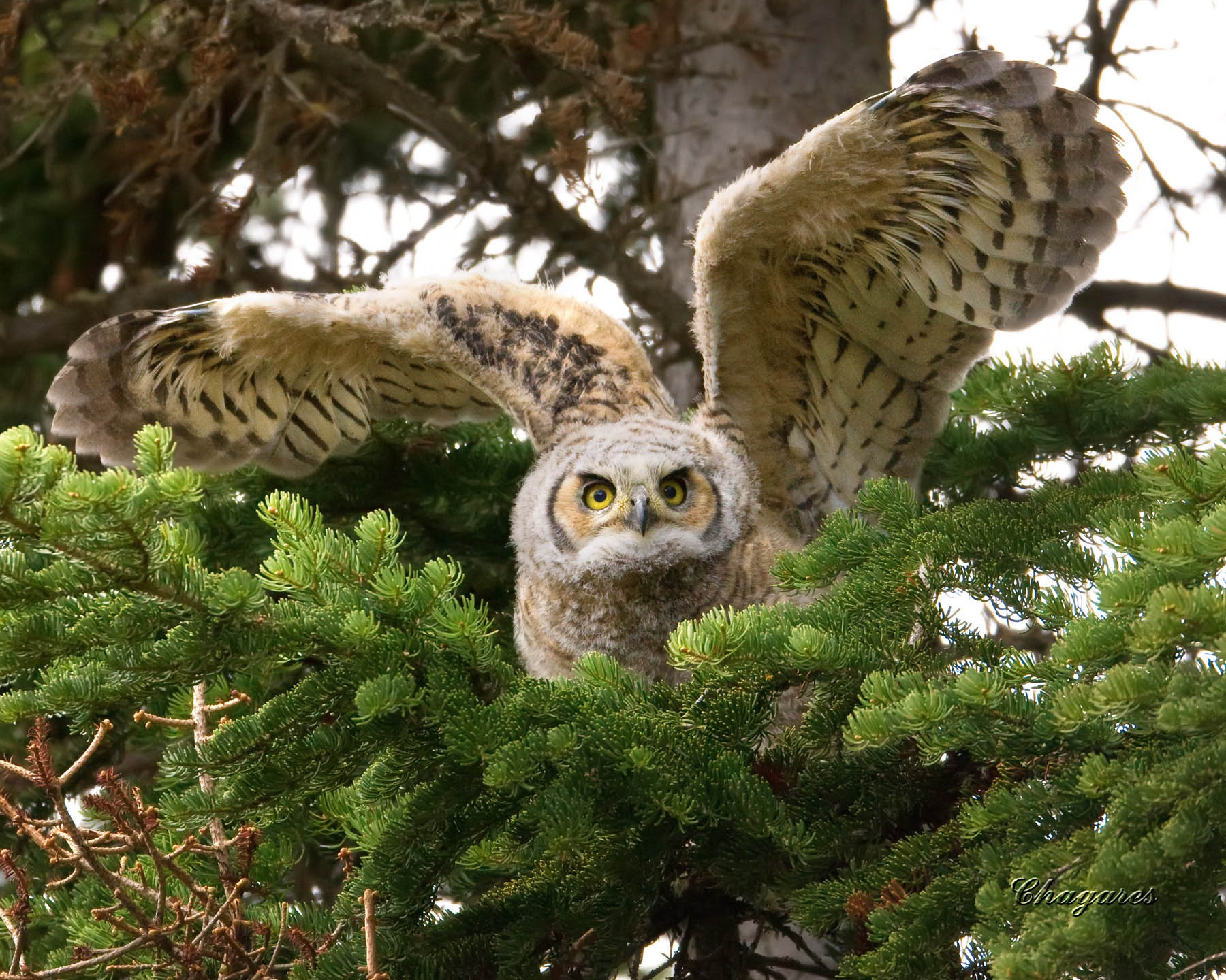 a comparison of the feeding habits of barn owls and screech owls Estimated mean home range of 8 bearded screech-owls was 22  and threatened bearded screech-owl (megascops barbarus) in the central highlands of chiapas, mexico.