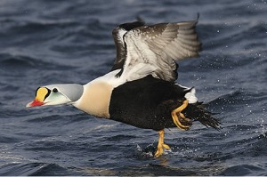 Types of Ducks - King Eider
