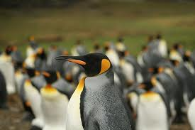 King penguin -  Different Types of penguins