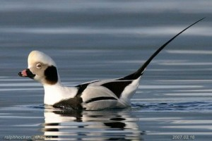 Types of Ducks - long tailed duck