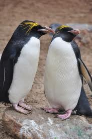Macaroni Penguin -  Different Types of penguins