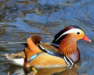 Types of Ducks - mandarin duck