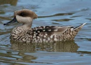 Types of Ducks - Marbled Duck