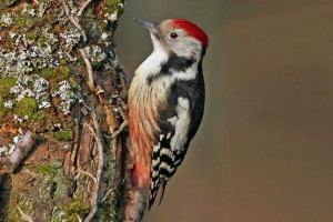 types of woodpeckers - Middle Spotted Woodpecker