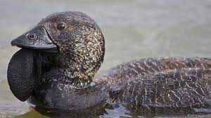 Types of Ducks - musk Duck