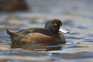 Types of Ducks - New Zealand Scaup