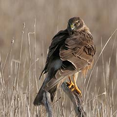 Northern Harrier - types of hawks