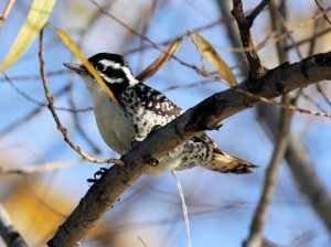 types of woodpeckers - Nuttall's Woodpecker