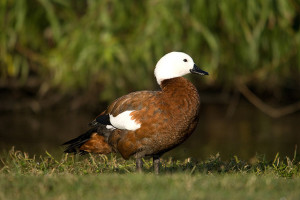 Types of Ducks - Paradise Shelduck