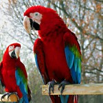 What do Parrots Eat – Where do Parrots Live