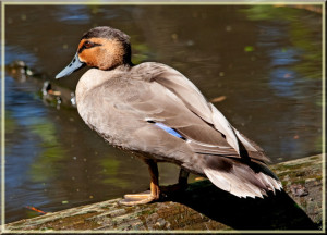 Types of Ducks - Philippine Duck