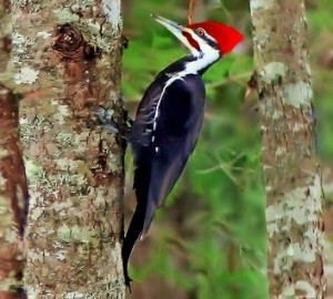 types of woodpeckers - Pileated Woodpecker