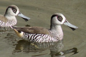 Types of Ducks - pink eared duck
