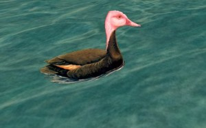 Types of Ducks - Pink-headed Duck