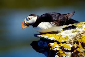 Atlantic Puffin Facts For Kids - Interesting Facts About Puffins