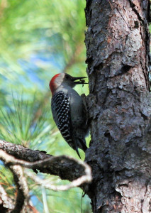 types of woodpeckers - Red bellied Woodpecker