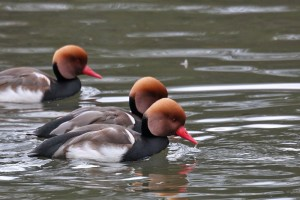 Types of Ducks - Red crested Duck