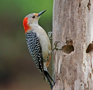 types of woodpeckers - Red crowned Woodpecker