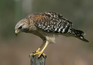 types of hawks - Red-shouldered Hawk
