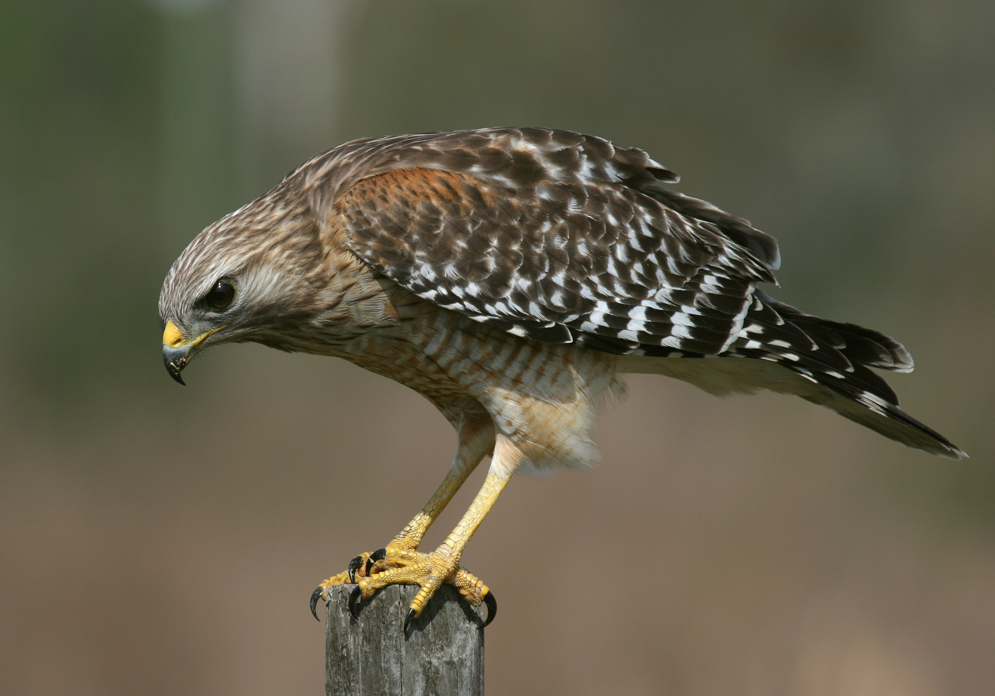 Types Of Hawks Pictures 108