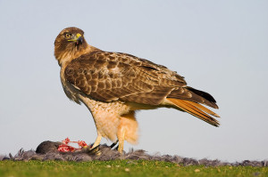 Red tailed Hawk - types of hawks