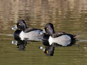 Types of Ducks - Ring-necked Duck