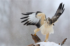 types of hawks - Rough-legged Buzzard
