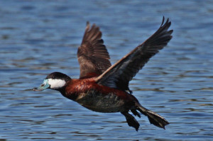 Types of Ducks - ruddy duck