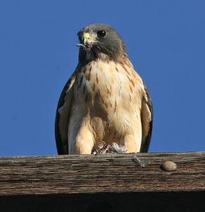 Short-tailed Hawk - Different types of hawk facts