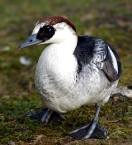 Types of Ducks - smew