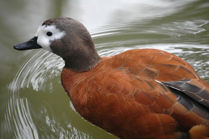 Types of Ducks - South African Shelduck
