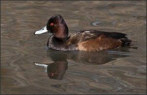 Types of Ducks - Southern Pochard