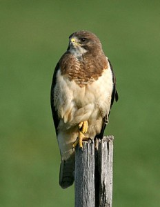 types of hawks - Swainsons Hawk