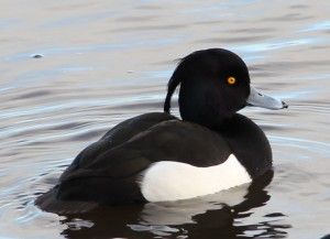 Types of Ducks - Tufted Duck