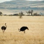 What Do Ostriches Eat – List of Essential Food Items