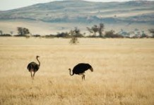 Two Ostriches - What do Ostriches Eat