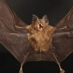 Vampire Bats Facts For Kids – Some Interesting Facts About Vampire Bats