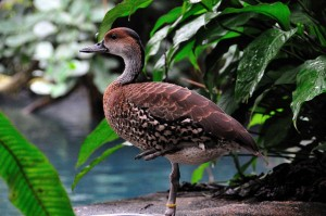 Types of Ducks - west indian whistling duck