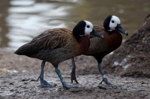 Types of Ducks - white faced whistling duck