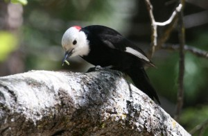 types of woodpeckers - White headed Woodpecker