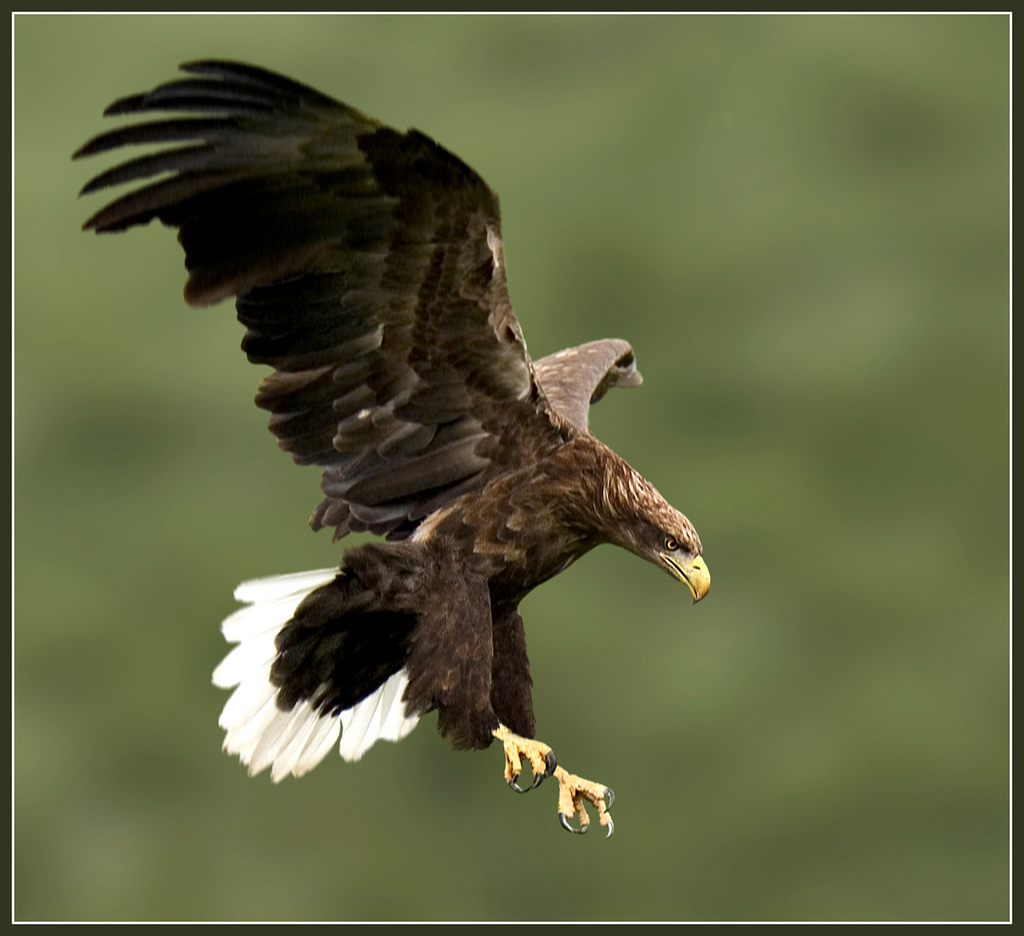 White Tailed Eagle Pictures 57