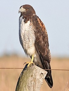 White-tailed Hawk - types of hawks