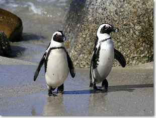 African Penguin Facts - African Penguin