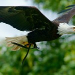 Types of Eagles – What Do Eagles Eat – Where do Eagles live