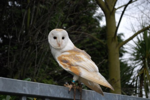 what do barn owls eat