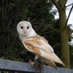 Barn Owl Facts For Kids – Barn Owl Diet & Behavior