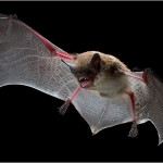 What Do Bats Eat? How Do Bats Fly?