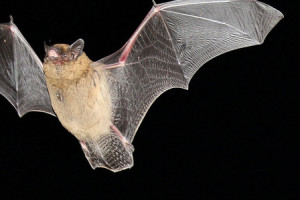 What do bats eat - how do bats fly