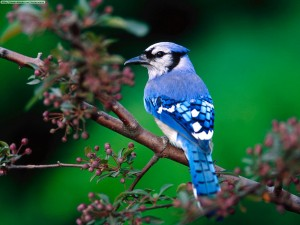 blue jay facts - Blue Jay Bird