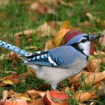 Blue Jay Facts – What Do Blue Jays Eat – Where Do Blue Jays Live
